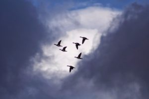 Generous Stewards Geese flying in formation